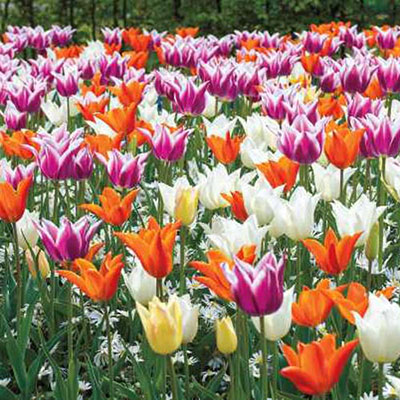 Lily Flowering Tulip Mix