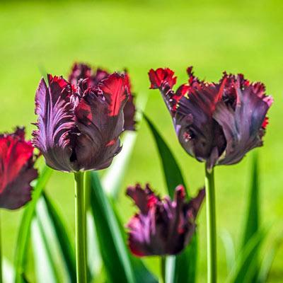 Parrot Tulip Black Parrot