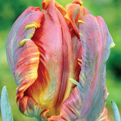 Parrot Tulip Blumex