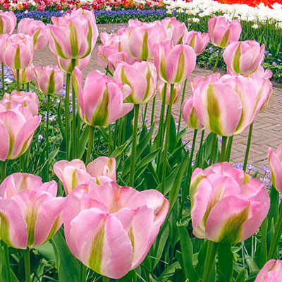 Viridiflora Late-Flowering Tulip Greenland