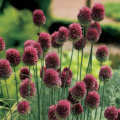 Allium Sphaerocephalon(Drumstick Allium)