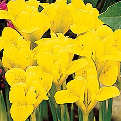 Iris Reticulata 'Danfordiae'