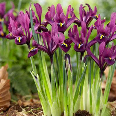 iris reticulata j s dijt k van bourgondiens. Black Bedroom Furniture Sets. Home Design Ideas