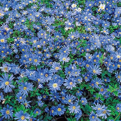 Anemone Blanda Blue Star