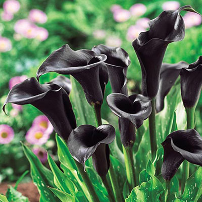 Free-Flowering Hybrid Calla Lily Odessa