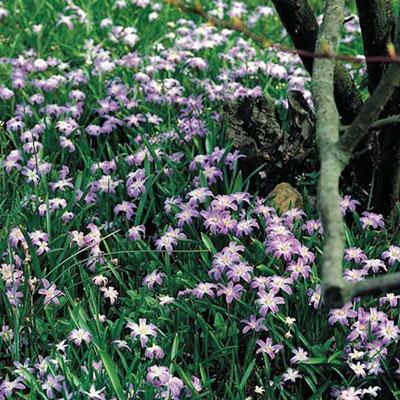 Chiondoxa luciliae 'Pink Giant'