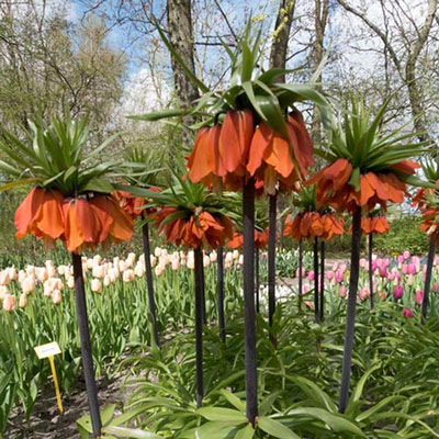 Fritillaria Imperialis 'rubra' (Red Crown)