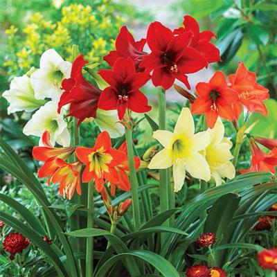 Hardy Garden Amaryllis Mixed