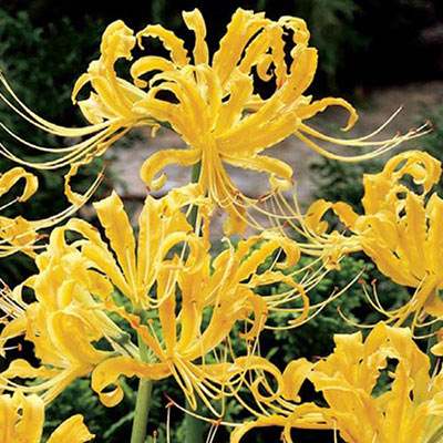 Lycoris aurea (Golden Spider Lily)