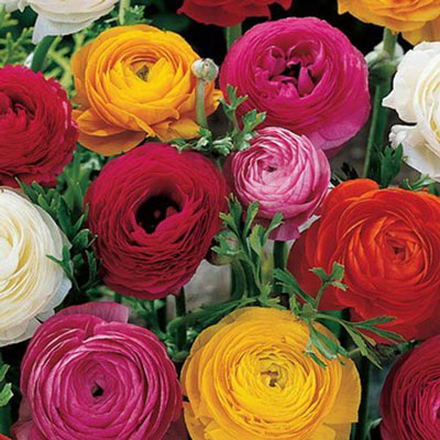 French Peony Ranunculus Mix