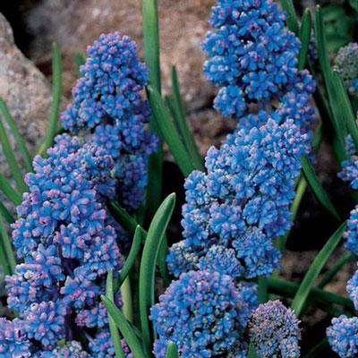 Muscari armeniacum Blue Spike