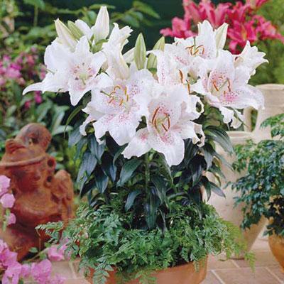 Oriental Lily Muscadet