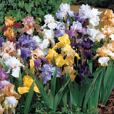 Reblooming German Iris Reblooming Mix