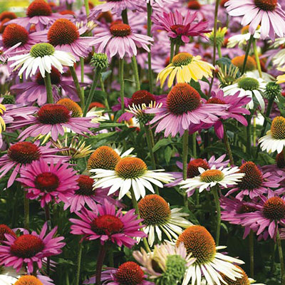 Coneflower Mix (Echinacea Mix)