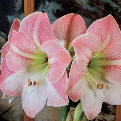 Galaxy Amaryllis Apple Blossom