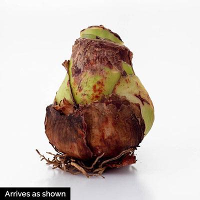 Amaryllis Evergreen