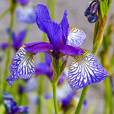 Shaker's Prayer Siberian Iris