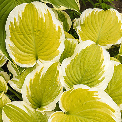 Hosta Spring Morning