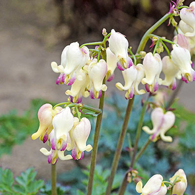 Dicentra Love Hearts<sup>®</sup>