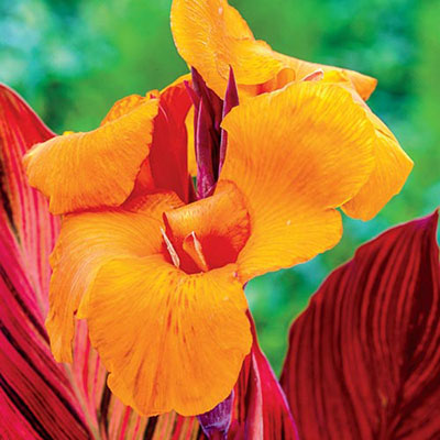 Variegated Giant Canna Phasion