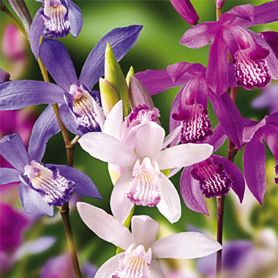 Hardy Ground Orchid Mix (Bletilla striata)