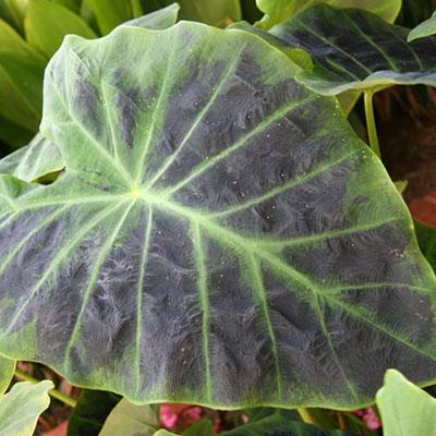 Colocasia esculenta Illustris