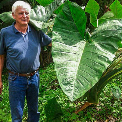 Colocasia gigantea 'Thailand Giant'