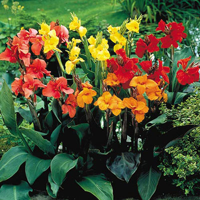 Giant Cannas Mixed K Van Bourgondien