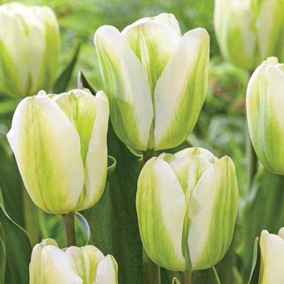 Viridiflora Late-Flowering Tulip Green Spirit