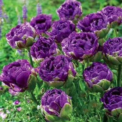 Double Peony Tulip Blue Wow