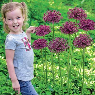 Allium 'Miami'