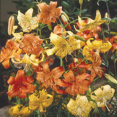 Tiger Lily Mix