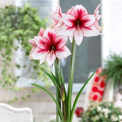 Jumbo Dutch Amaryllis Temptation
