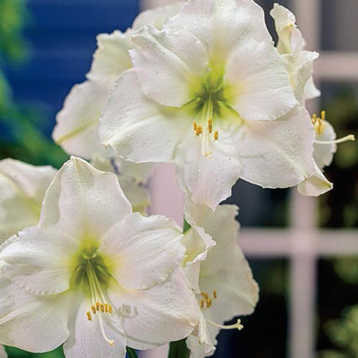 Jumbo Dutch Amaryllis Christmas Gift