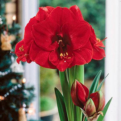 Single Amaryllis Merry Christmas<sup>® </sup>