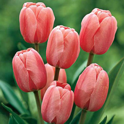 Darwin Hybrid Tulip Pink Impression