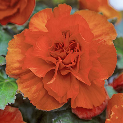 Non-Stop Begonia Orange