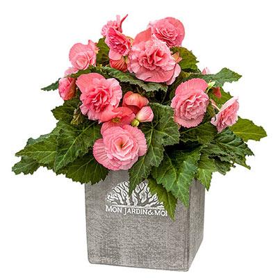 Non-Stop Begonia Pink