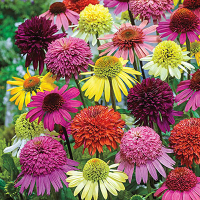 Echinacea Color Showtime Mix