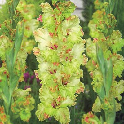 Hybrid Gladiolus Kiev
