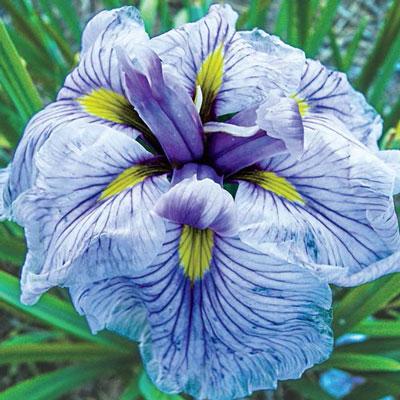 Japanese Iris Greywoods Catrina