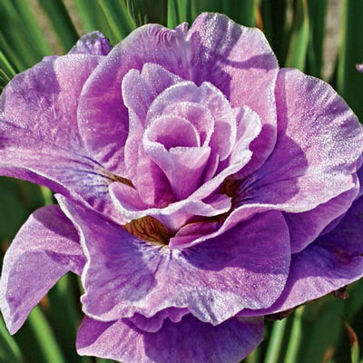 Double Siberian Iris Pink Parfait
