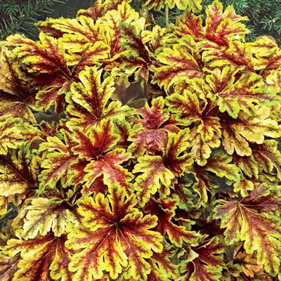 Heucherella Gold Zebra