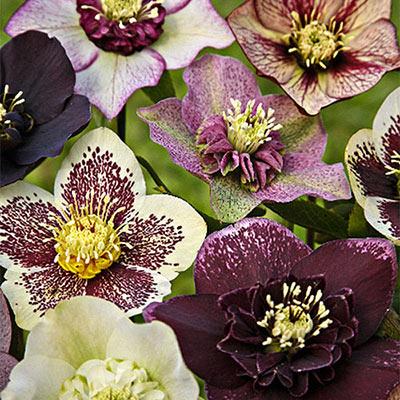 Mixed Hellebores (Helleborus orientalis Mix)