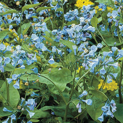 Virginia Blue Bells (Mertensia virginica)