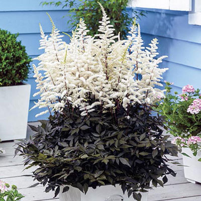 Astilbe Cappuccino (Thunbergii)