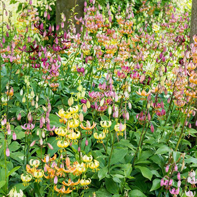 Martagon Lily Mixture