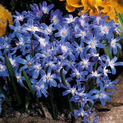 Chionodoxa forbesii (Glory of the Snow)