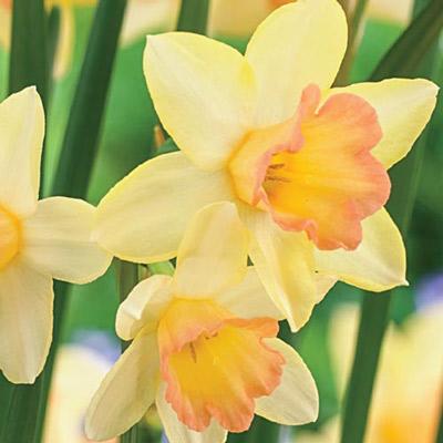Jonquilla Daffodil Blushing Lady