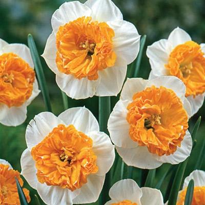 Large Cupped Daffodil Czardas